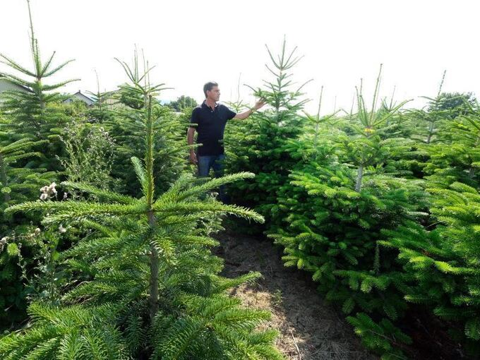 Der Letzte Weihnachtsbaum.Günstiges Wetter Spricht Für Gute Weihnachtsbaum Ernte Lokales